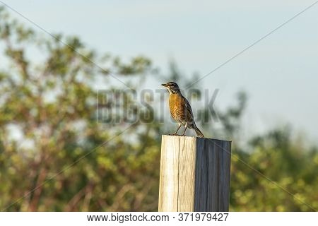 The American Robin Sitting On A Pole.