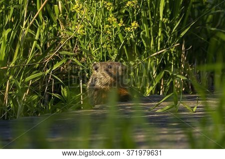 The Groundhog (marmota Monax), Also Known As A Woodchuck In Conservation Area In Wisconsin.