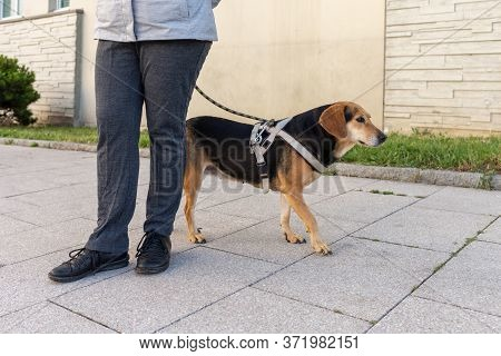 Owner And Dog With Leash Walking , Companion Dog Walking,
