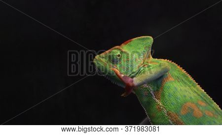 Green Chameleon Isolated On Black Background With Copy Space. Selective Focus. Wild Animals.