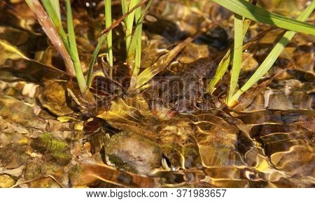 The Astacus Astacus (or Noble Crayfish, European Crayfish, And Broad-fingered Crayfish) Is A Species