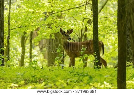 White-tailed Deer. The  Hind And Buck In Forest .