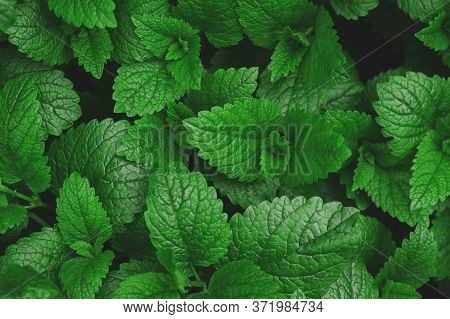 Green Fresh Natural Background Texture, Saturated Leaves Close Up
