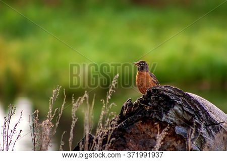 A Robin Perched On A Log In A Spring Park
