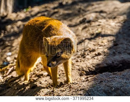Closeup Portrait Of A Yellow Mongoose, Also Known As The Red Meerkat, Tropical Animal Specie From Af