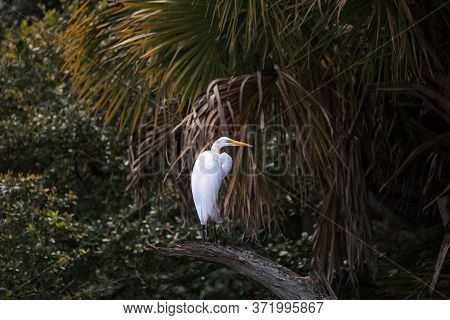 Great White Egret Wading Bird Perched On A Tree In Swamp Of Myakka River State Park In Sarasota, Flo