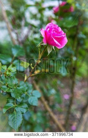 A Sigle Pink Rose In A Backyard Garden.