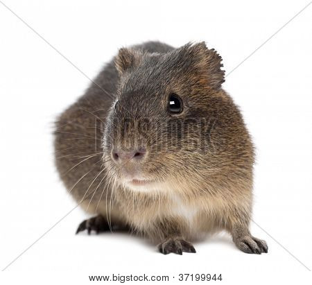 Greater guinea pig, Cavia magna, against white background