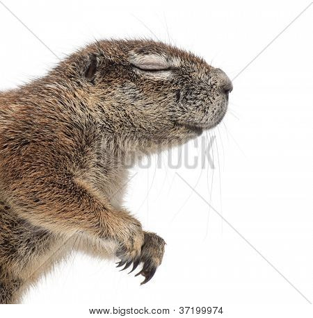 Cape Ground Squirrel, Xerus inauris, against white background