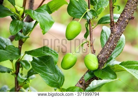 A Branch With Unripe Plum Fruits. Sunny Day. Focus On Green Plums. Fetus Close-up.