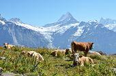 Cows on the Alpine meadow. Jungfrau region, Switzerland poster