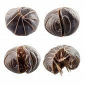 Pill-bug armadillidium vulgare species isolated on white background poster
