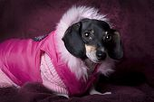 Close up horizontal studio shot of a black and tan Dachshund wearing a pink sweater and coat. poster
