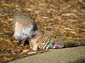 Two cute cuddling crested pigeons (Ocyphaps lophotes) in Australia poster