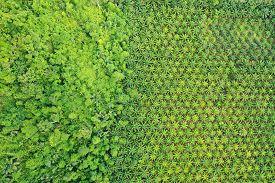 Palm oil plantation and rainforest edge