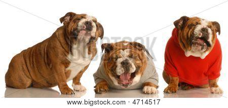Three English Bulldogs Laughing