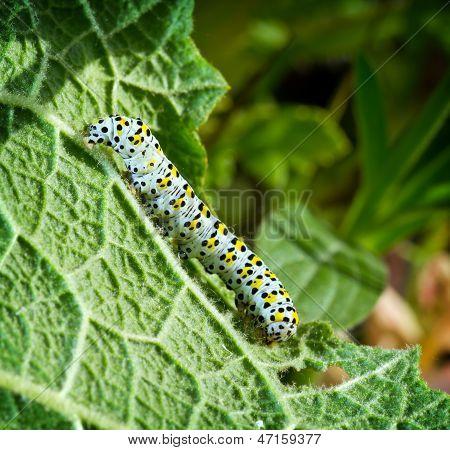 Caterpillar An Leaf
