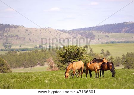 Wild Spanish Mustangs in the Black Hills of South Dakota poster