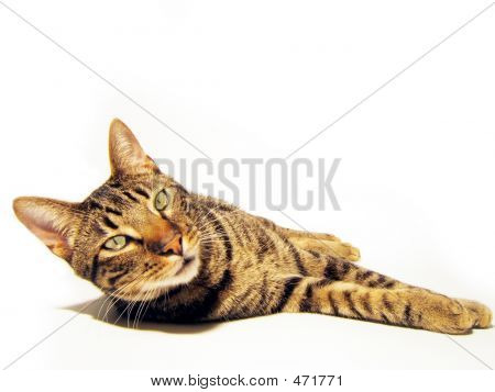 Isolated Cat