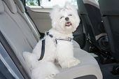 Small dog maltese sitting safe in the car on the back seat in a safety harness poster