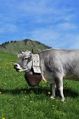 Grey cow with beautiful bell, Bernese Oberland. poster