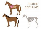 zoology, anatomy of horse, cross-section and skeleton poster