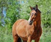 Portrait of bay purebred stallion poster