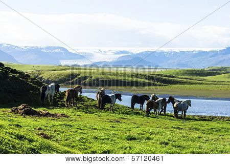 Funny Horses In The Fields Of Iceland