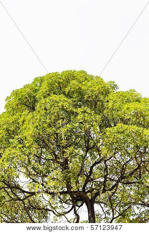 Isolate Tree In Asia.