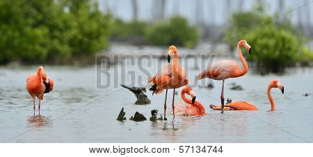 Caribbean Flamingos ( Phoenicopterus Ruber )