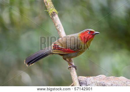 Red-faced Bird, Scarlet-faced Liocichla