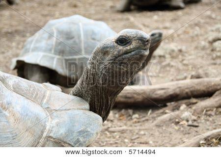 Gian galapagose turtle.