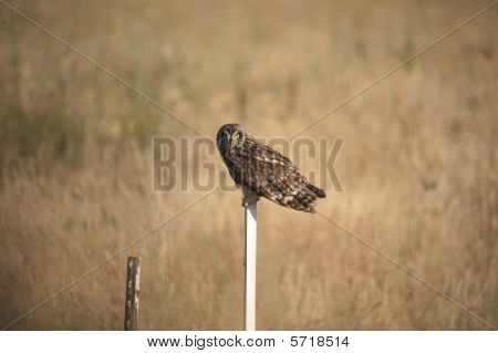 Short-eared Owl setting on a post hunting for foodin northern Utah poster