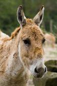Cute and little bit sad donkey looking at camera. Close shot poster