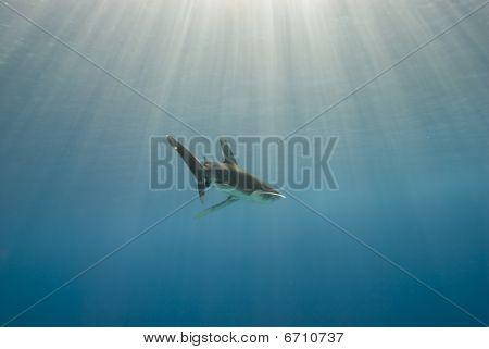 Shark In Blue Water