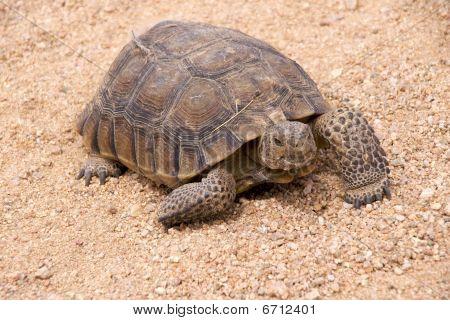 Mojave desert tortoiese
