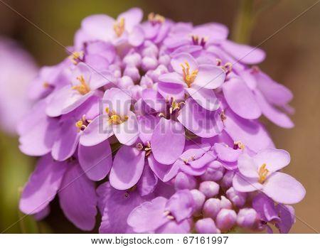 Iberis umbellata, Candytuft flower in delicate light purple color