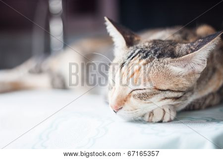 Adult Female Cat Sleeping In The House