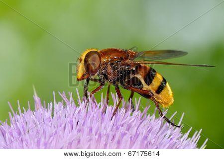 Hornet mimic hoverfly (Volucella zonaria) in natural habitat