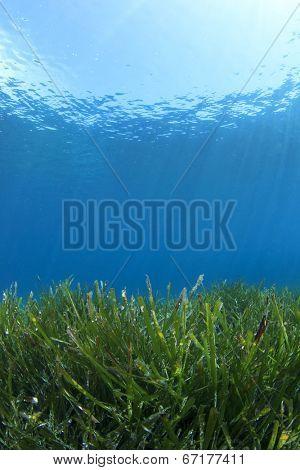 Seagrass underwater