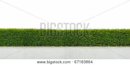 Hedge Fence Isolated On White