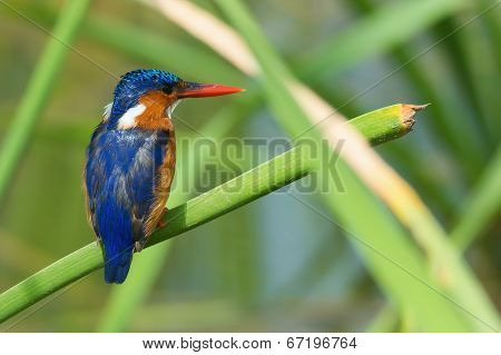 A Malachite Kingfisher (alcedo Cristata) Perched On A Reed