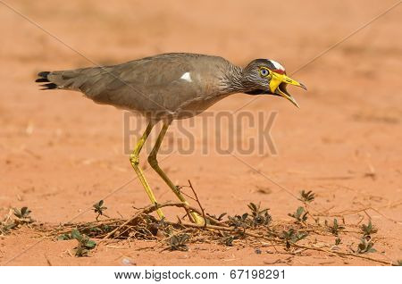 An African Wattled Lapwing (vanellus Senegallus) Calling Out A Warning