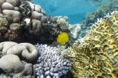 Pristine hard coral reef in clear water. Gordon reef Gulf of Aqaba Red Sea Egypt. poster