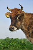 Jersey cow on pasture in morning mist West Coast New Zealand poster