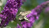 Swallowtail Butterfly on lilac in the garden poster