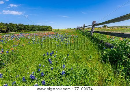 A Wide Angle View of a Beautiful Field Blanketed with the Famous Texas Bluebonnet (Lupinus texensis) Wildflowers and Bright Orange Indian Paintbrush near an Old Wooden Fence. poster
