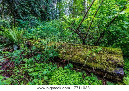 A Mystical Cedar Tree Log Covered with Moss in a Pacific Northwest Rainforest.  Spring Forest. poster