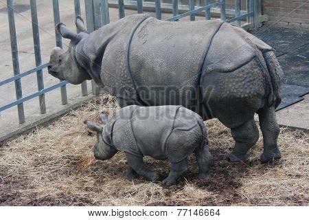 Indian rhinoceros (Rhinoceros unicornis) with a calf.