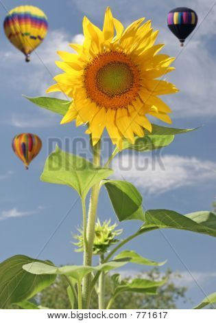 Sunflower with balloons